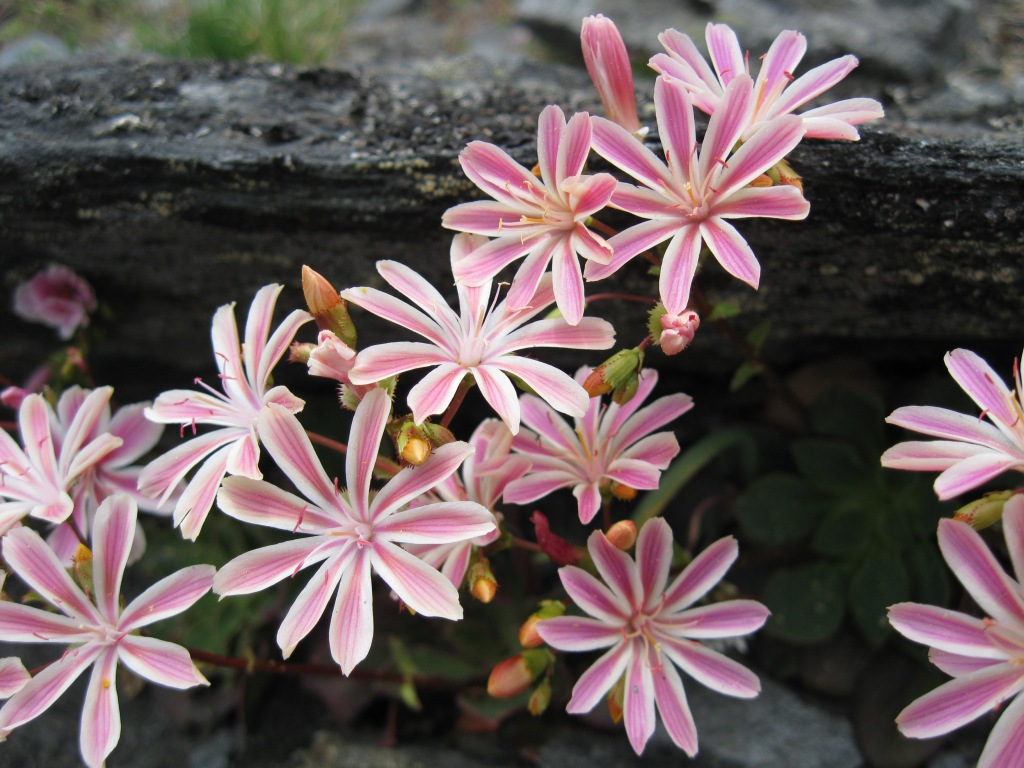 Ch 2 or Bot. feature Ch 9 Lewisia Cotyledon