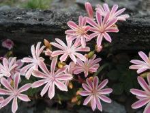 Siskiyou lewisia (Lewisia cotyledon)