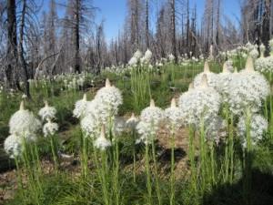 Beargrass (Xerophyllum tenax)