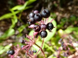 California spikenard (Aralia californica) berries