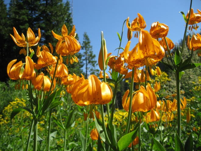 Tiger lily frog pond red buttes wilderness 3