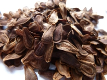 Showy milkweed (Asclepias speciosa) seed