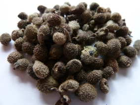 Hound's tongue (Cynoglossum grande) seed