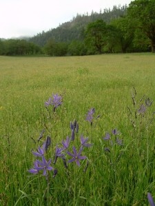 Camas (Camassia quamash) near an old Indian village site near Agness on the Illinois River.