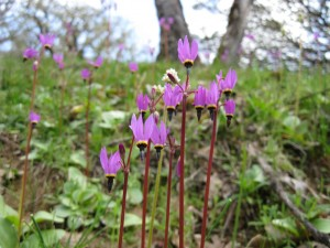 Shooting star (Dodecatheon hendersonii)