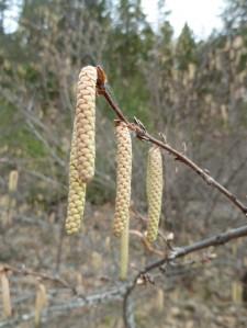 Hazelnut (Corylus cornuta var. californica)