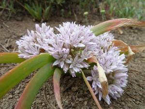 Siskiyou onion (Allium siskiyouense)