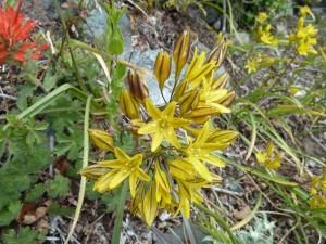 Yellow triteleia (Triteleia crocea)