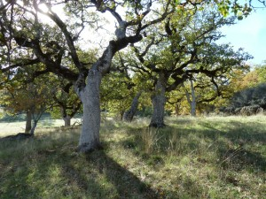 Oregon white oak (Quercus garryana)