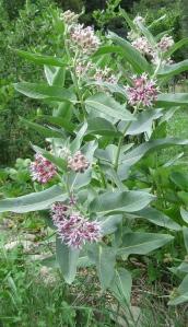 Showy milkweed (Asclepias speciosa)