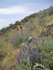 Silver lupine (Lupinus albifrons) with western thistle (Cirsium occidentale) in the foothills.