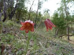 Gentner's frittilaria (Frittilaria gentneri) in the foothills of the Applegate Valley.