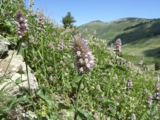 Horsemint (Agastache urticifolia) in the large meadows of the Silver Fork Basin, the headwaters of Elliott Creek in the Siskiyou Mountains.