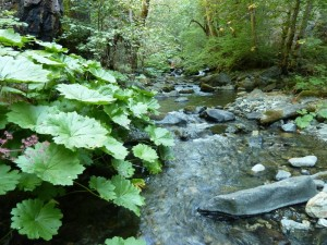 Umbrella plant  or Indian rhubarb (Darmera peltatum) on Goff Creek, a tributary to the Klamath River.