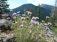 Mountain monardella (Monardella odoratissima)