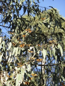Pismo beach, California monarch grove in January. Monarchs on non-native eucaplyptus trees.
