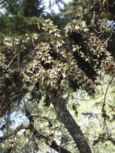 Pismo beach, California monarch grove. Monarchs on Monterey cypress tree.