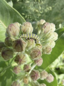 Monarch caterpillar on Showy milkweed