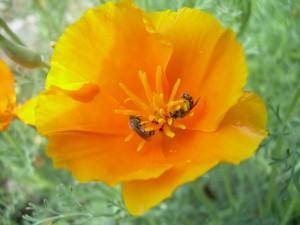 Eschscholzia californica1