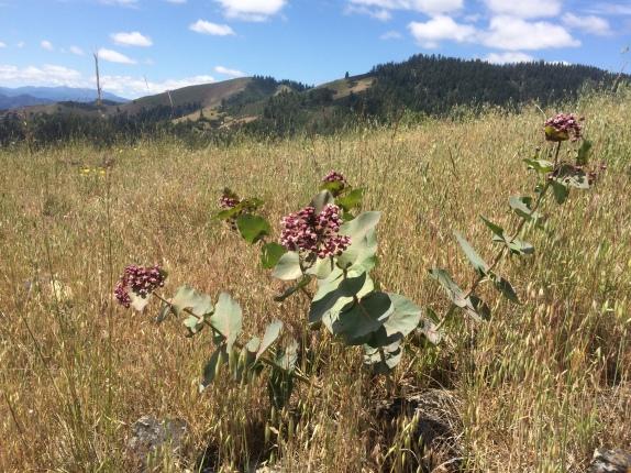 Heartleaf milkweed (Asclepias cordifolia)