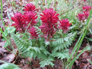 Indian warrior (Pedicularis densiflora)