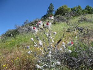 Western thistle (Cirsium occidentale)