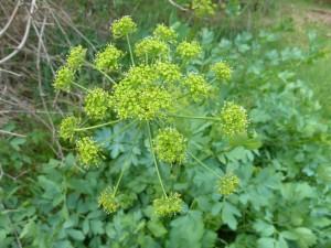 California lomatium (Lomatium calfornicum)
