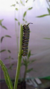 Monarch caterpillar eating a stem of milkweed in a rearing cage.