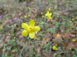 Western buttercup (Ranunculus occidentalis)