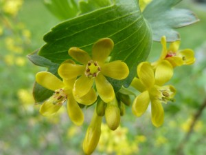 Golden flowering current (Ribes aureum)