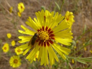 Common tarweed (Madia elegans)