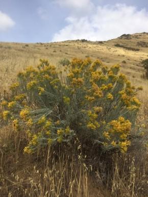 rubber rabbitbrush (Ericameria nauseosa)