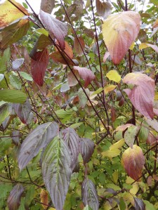 Fall colors of Pacific dogwood (Cornus nuttallii)