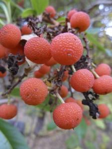 Madrone berries (Arubutus menziesii)