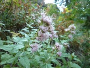 western boneset (Ageratina occidentalis)
