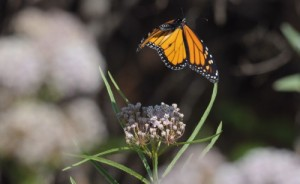 Monarch flying off from narrowleaf milkweed (Asclepias fascicularis). Photo courtesy of Frank Lospalluto.