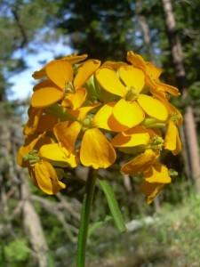 Western wallflower (Erysimum capitatum) in the Klamath-Siskiyou.