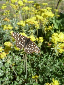 Butterfly on Sulphur flower buckwheat (Eriogonum umbellatum)