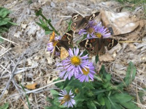 Many butterflies species competing for nectar on Henderson's aster (Symphyotrichum hendersonii). Butterflies love plants in the Aster family, including the monarch butterfly. This photo was taken in our garden in October.
