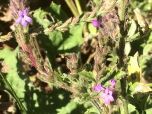 Western verbena (Verbena lasiostachys)