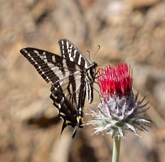 Swallowtail butterfly on western thistle