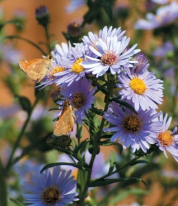 Pacific aster (Symphyotrichum chilense)