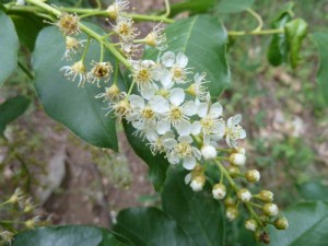 Chokecherry (Prunus virginiana var. demissa)
