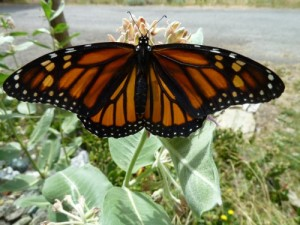 Newly emerged monarch