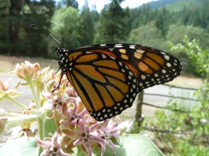 Monarch on showy milkweed (Asclepias speciosa)