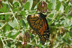 Monarch nectaring on broad-leaved lotus (Hosackia crassifolia) Photo: Jean Pawek