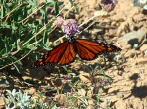 Monarch nectaring on mountain monardella (Monardella odoratissima) in the Siskiyou Mountains. Photo courtesy of Linda Kappen.