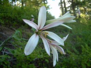 Washington lily (Lilium washingtonianum)
