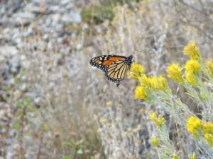 Monarch nectaring on rubber rabbitbrush (Ericameria nauseosa) along the Little Grayback Trail in the Upper Applegate Valley of southern Oregon in August