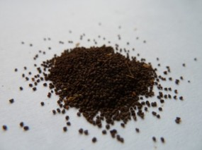 Coyote tobacco (Nicotiana attenuata) seed